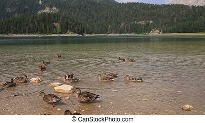 Wild ducks on the lake, wildlife. - Wild ducks on the lake,...