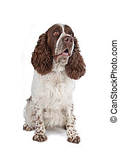 English Springer Spaniel isolated on a white background