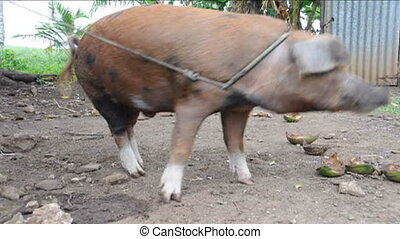 large hog pic in tropics snorting - pig hog tropical trees...