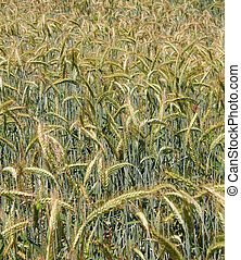 wheatfield - details on a wheatfield