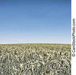 wheatfield - irrealistic wheatfield on blue sky