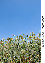 wheatfield on blue sky