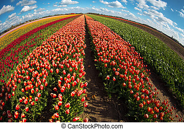 pink, red and orange tulip field in North Holland during...