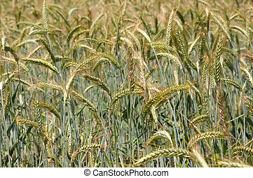 wheatfield - details of a wheatfield