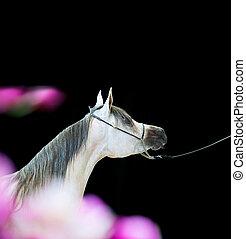 portrait of show grey arabian horse. indoor