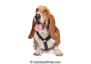 basset hound isolated on white