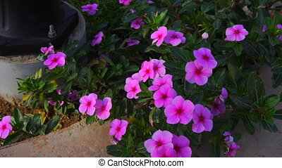 bright blooming pink flowers - close up of bright blooming...