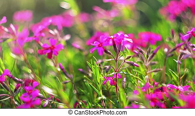 Spring pink flowers close-up - Pink spring flowers outdoors...