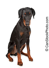 doberman pinscher - dog isolated on white