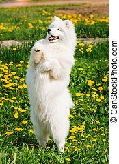 Young Happy Smiling White Samoyed Dog Or Bjelkier, Smiley,...