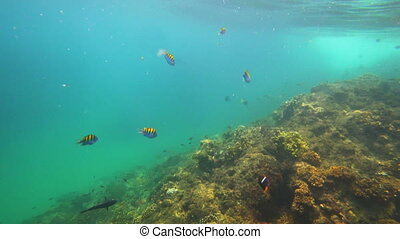 Diving in pacific ocean with colorful fish - Underwater,...