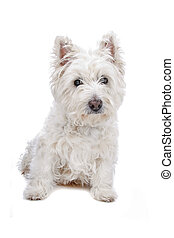 West Highland White Terrier - dog isolated on white