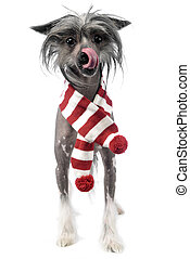 Chinese Crested Dog with scraf in a white studio