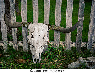 cow skull with horns - Cow skull with horns against a wooden...