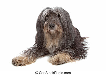 Tibetan Terrier - dog isolated on white