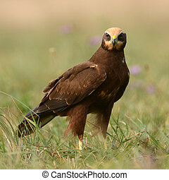 Marsh harrier - Female Marsh harrier (circus aeruginosus)