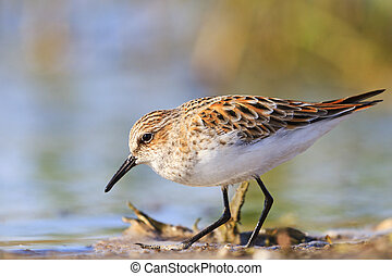 little stint ,Calidris minuta search of food in the...