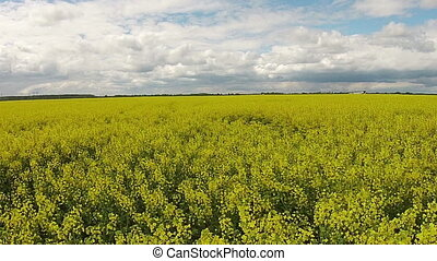 Aerial view of the yellow field with rapeseed
