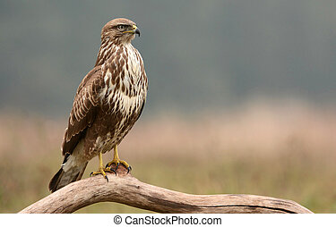 Common buzzard (buteo buteo)