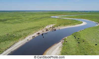 A Herd of Cattle near the River