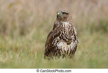 Common buzzard (buteo buteo) - Common buzzard (Buteo buteo)