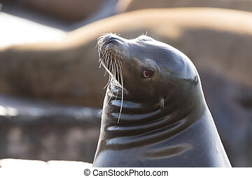 California Sea Lion (Zalophus californianus) Headshot. -...