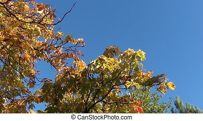 autumn chestnut zooming in - autumn chestnut on a tree and...