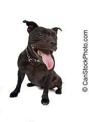 staffordshire bull terrier - dog isolated on white