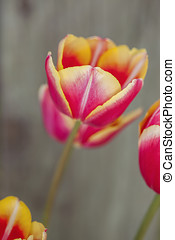Brightly lit tulips. - A close up of pink and yellow tulips...
