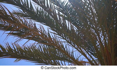 Big Green Palm tree branches against the blue sky close-up