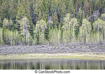 aspen, sagebrush, and spruce with water reflection - aspen,...