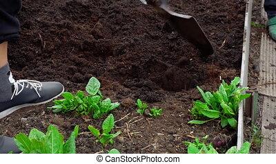 Hard spring gardening - Gardener digging the soil in spring...