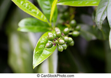 Fruit of a Cherry Laurel lat Prunus laurocerasus...
