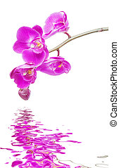 Pink orchid on a white background reflected in a water