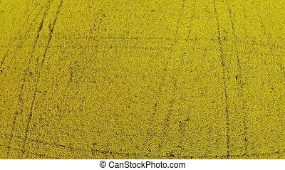 Aerial view of the yellow field with rape