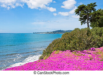 California Coastal Flowers - Purple ice plant blooming on a...