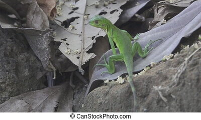 Green lizard escaping in super slow-motion - Rear view of...