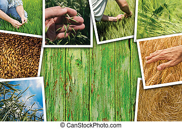 Wheat farming in agriculture photo collage