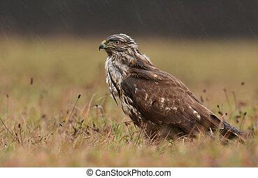Common buzzard (buteo buteo) - Common buzzard (Bute buteo)
