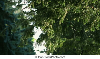 Frn from fir branches - Frn from young fir branches swaying...
