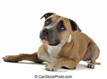 American stafford shire terrier and a cat looking  in a photo studio