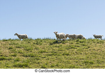 young sheep on green dike - young sheep mother and baby lamb...