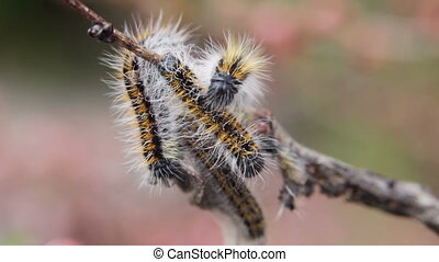Caterpillar wrapped branchcaterpillar Aporia Crataegi on...