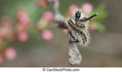 Caterpillar wrapped branchcaterpillar Aporia Crataegi on almond branches