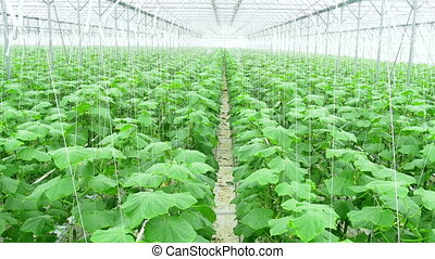 Growing cucumbers on an industrial scale,in the greenhouse.