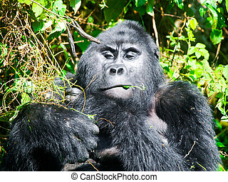 Adult male mountain gorilla - silverback - eating green...