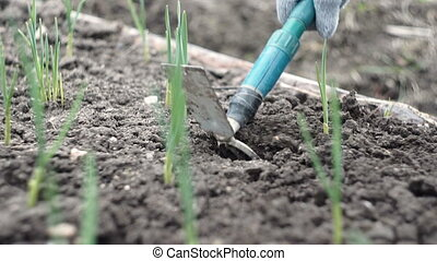 Weeding and loosening of the soil with a small hoe