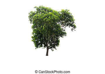 Big green tree Isolated