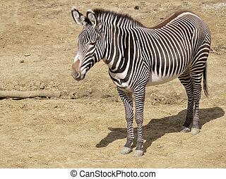 Zebra of Grevy or imperial zebra (Equus grevyi) standing on...