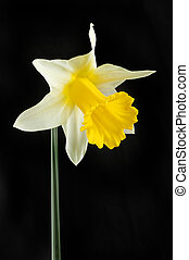 White and yellow Daffodil against black